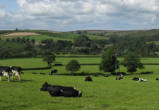 cows Rowcliffe House Penrith